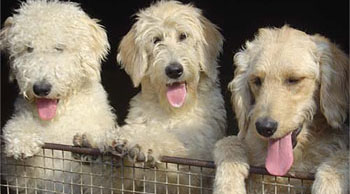3 Types of Labradoodle