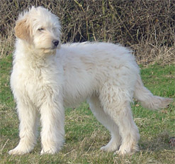 About Kimberlenes Labradoodles